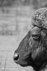 DSC02115.jpg (ChrMous) Tags: winter animals southafrica vakantie blackwhite buffalo zwartwit mammals stlucia buffel 2016 synceruscaffer africanbuffalo zuidafrika kwazulunatalprovince isimangalisowetlandpark afrikaansebuffel sonyslta99 tamronsp150600mmf563 arikabuffel