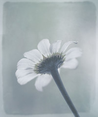 margarita sin color (saparmo) Tags: flower flor daisy margarita texturas virado seleccionar