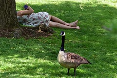 A Goose (and Others) (AntyDiluvian) Tags: park woman man guy girl boston garden massachusetts goose embrace backbay canadagoose publicgarden