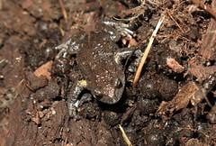 Bibron's Brood Frog (Pseudophryne bibroni) (Heleioporus) Tags: new wales south frog ranges brood brindabella pseudophryne bibroni bibrons