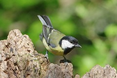 IMGP1963 Great Tit, Lackford Lakes, May 2016 (bobchappell55) Tags: wild bird nature woodland suffolk wildlife lakes reserve trust damp lackford