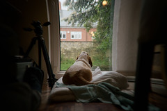 Will it ever stop raining? (Michael Crookes) Tags: rain hound basset