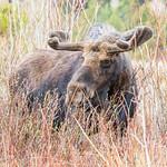 Bull Moose grazes through the willows thumbnail
