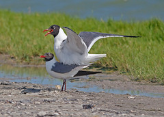 Laughing Gull (1krispy1) Tags: gulls laughinggull texasbirds