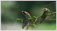 tirements synchroniss (guiguid45) Tags: bird nature nikon loire oiseaux sauvage meropsapiaster europeanbeeeater loiret 500mmf4 d810 gupierdeurope