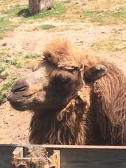 Zoo Animals (rachelrowe0227) Tags: animal animals zoo camel bactriancamel