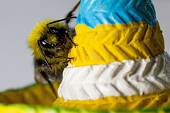 Macro Mondays - Stripes (that Geoff...) Tags: macro up canon insect close stripes bee sombrero mondays 70d