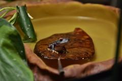 Red-eyed tree frog (Agalychnis callidryas) _DSC0023 (ikerekes81) Tags: baby tree cute nikon amphibian frog kerekes ik hamlet istvan babyfrog agalychniscallidryas redeyedtreefrog nikond3200 redeyed d3200 agalychnis callidryas 18105mm sb700 istvankerekes redeyedtreefrogagalychniscallidryas