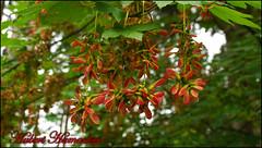 DSC08394-20160621 (hubert_hamacher) Tags: eifel baum fichte tannenbaum pilz tanne dreilgerbachtalsperre