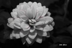 Sin saber tu nombre (Jotha Garcia) Tags: plant flower macro primavera blancoynegro june nikon flor bloom flowering junio 2016 blackwithe nikond3200 florecer d3200 jothagarcia