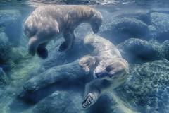 Saying goodbye, for now. (ucumari photography) Tags: bear blue water animal mammal zoo oso nc north may polarbear carolina nikita anana eisbr ursusmaritimus oursblanc 2016 osopolar ourspolaire orsopolare specanimal ucumariphotography sbjrn dsc1688