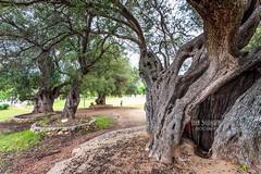 Santa_Maria_Navarrese_Olivastri_20160422_0047-Edit (ivan.sgualdini) Tags: sardegna old italy tree ancient olive it albero antico olivo ulivo santamarianavarrese olivastri millenari