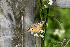 Painted lady (179/366) (AdaMoorePhotography) Tags: wild england nature nikon natural wildlife essex 366 200500mm d7200