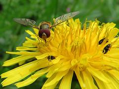 Le Syrphe ceintur (Episyrphus balteatus) (Didier Auberget Photographie) Tags: flower macro fleur plante fly hoverfly insecte mouche syrphidae pissenlit taraxacum episyrphusbalteatus coloptre syrphe diptre syrphide syrpheceintur meligthe
