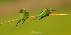 Resting (Wasif Yaqeen) Tags: pakistan nature birds animals outdoor wildlife resting animalplanet nationalgeographic beeeater birdshabitat greenbeeeater littlebeeeater wasif birdsofpakistan wildlifeofpakistan pakistanwildlife pakistannature birdsinnaturalhabitat wasifyaqeen wasifyaqeenphotography beeeaterresting greenbeeeaterresting