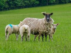 Another Sheep Family (tubblesnap) Tags: family fuji sheep yorkshire lamb lambs dales lightroom xs1 tubblesnap