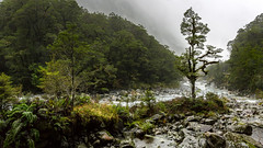 Hollyford beats Hollywood (grantg59@xtra.co.nz) Tags: trees mist mountains green water rock forest river real bush rocks thing rapids land cloak wilderness beech shrouded weta compare workshops