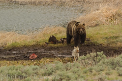 Your out a here (ChicagoBob46) Tags: grizz grizzly grizzlybear bear coyote bisoncarcass yellowstone yellowstonenationalpark nature wildlife