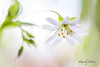 Spring satin flower