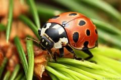 Anatis ocellata (gabris.radim) Tags: beetle ladybug coleoptera coccinellidae ocellata anatis