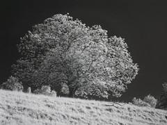 DSC00262re_v1 (vorinami) Tags: nature ir infrared f828 hoya r72
