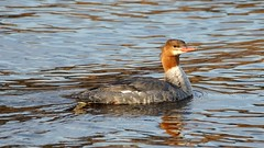 Common Merganser, Lester River, 05/04/15 (TonyM1956) Tags: tonymitchell duluth stlouiscounty minnesota nature birds lesterriver waterfowl mergansers commonmerganser sonyphotographing sonyalphadslr