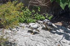 My What Big Feet You Have! (johnip86) Tags: mountains bird nature animal georgia outdoors spring warm babies nest sunny juvenile rare tallulahgorge peregrinefalcon tallulahgorgestatepark overlook9 firstnaturalnestin80years