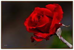 Maggio: il mese delle rose (Schano) Tags: mediterraneo rosa fiore spony sel55210 ilce3000 sonyilce3000 sonyemount55210 sony3000 maggioilmesedellerose