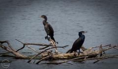 Comorants at Doxey Marshes (sjfreeman88) Tags: wild lake black nature big nikon couple wildlife beak wetlands trust cormorant waterfowl staffordshire marshes nikond3200 comerant doxey