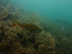 Perch, Schmaler Luzin (yayapapaya77) Tags: plants lake fish germany see sand underwater pflanzen diving fisch perch feldberg barsch mecklenburgvorpommern tauchen unterwasser schmalerluzin feldbergerseenlandschaft canonpowershotg15