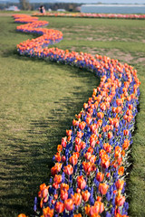 Tulip Fest (17 of 26) (evan.chakroff) Tags: flowers festival washington spring unitedstates tulips tulip april mountvernon tulipfestival mtvernon roozengaarde 2016