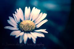 Nikon d5300 macro (Jasrmcf) Tags: flowers white blur flower macro contrast nikon dof bokeh smooth nikkor daisey bokehlicious d5300