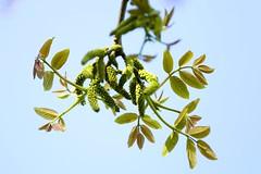 Juglans regia (thmlamp) Tags: juglansregia walnus