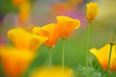 /Eschscholtzia californica (nobuflickr) Tags: flower nature japan botanical kyoto   the eschscholtziacalifornica garden    20160422dsc07799