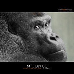 M'TONGE (Matthias Besant) Tags: animal animals mammal monkey tiere gorilla ape monkeys mammals apes fell tier affen primates silverback affe zolli zoobasel primat silberruecken hominidae primaten querformat saeugetier saeugetiere menschenaffen hominoidea mtonge trockennasenaffe menschenartige affenfell menschenartig affenblick matthiasbesant
