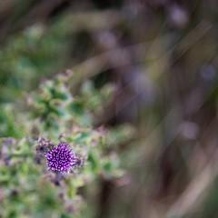 12309665_10153815603324529_7103662604282893270_o (Vigdis Viggosdottir) Tags: plant iceland purple cirsium grindavk arvense cirsiumarvense