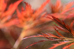 Fire leaves (dfromonteil) Tags: rouge red leaves feuilles lumire light macro bokeh 105mm nikon