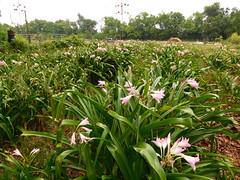 Crinum farm (Just Back) Tags: flower sc fleur gourds birds living petals blumen pole stamens foliage growth amaryllis carolina bloom alive botany martins nesting telas physiology liliaceae cultivated amaryllidaceae crinum clumps