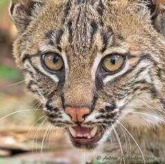 Young Bobcat (Andrew's Wildlife) Tags: bobcat