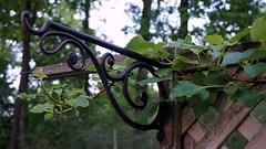 (amyshaffer1) Tags: plant green nature leaves vine climbing curled swirls hydrangea hanger lattice