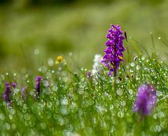 Early Purple Orchids (Peter Quinn1) Tags: derbyshire peakdistrict dew limestone backlit cressbrookdale whitepeak earlypurpleorchid