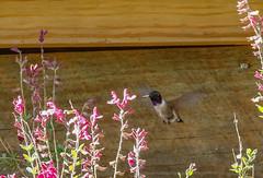7b-black-chinnedhummingbird-6708 (h.redpoll) Tags: bigbendtrip blackchinnedhummingbird davismountainsstatepark feeders texas westtexas