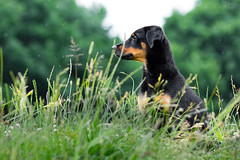 Buddy (Maria Zielonka) Tags: doberman dobermann dog dogs hund hunde mariazielonkafotografie mischling outdoor photography puppies puppy schweizer schferhund schferhundmischling shepherd shooting swiss wei weier welpe welpen
