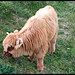 calf III