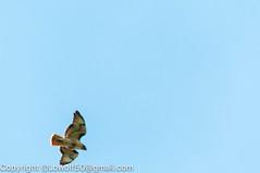 RedTailHawk battle 14_DSC5611.jpg (orig_lowolf) Tags: usa home oregon nikon flickr flight crow attacking redtailedhawk lakeoswego d300s sigma150500mmf563afapodgoshsmtelephotozoom