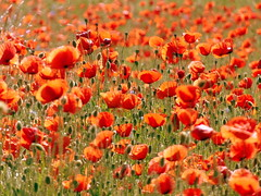 HoT SuMMeR PoPpies FIELD (swetlanahasenjäger) Tags: fantasticnature coth platinumheartaward saariysqualitypictures flowerarebeautiful sunrays5 magicmomentsinyourlifelevel ruby10 magicmomentsinyourlifelevel3 coth5 thebestofmimamorsgroups theoriginalgoldseal natureselegantshots contactgroups