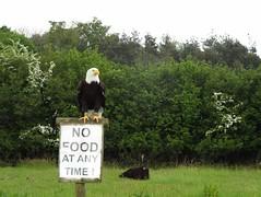 Read this Notice Board..... (Tricia in Kent UK ....) Tags: eagle raptors birdsofprey groombridgeplace raptorcentre baldheadedeagle birdofpreysanctuary readthisnoticeboard
