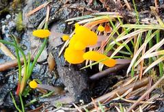 Clavulinopsis sp?? ID help please (SAMARA:) Tags: forest scotland may fungi fungus clavulinopsis glentrool