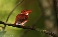 Madagascan Pygmy Kingfisher - Corythornis madagascariensis (Justin Rhys Nicolau) Tags: bird nature canon wildlife kingfisher colourful 500mm madagascar f4 pygmy alcedinidae masoala madagascariensis madagascan 1dx corythornis