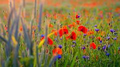 Mohn- und Kornblumen (Ralph Pascher) Tags: cornflowers coquelicots poppies red blue rot blau
